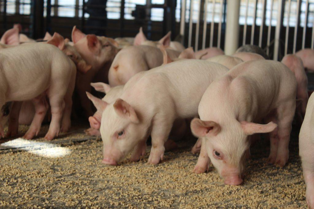 ملزومات یک مزرعه پرورش خوک در گرجستان