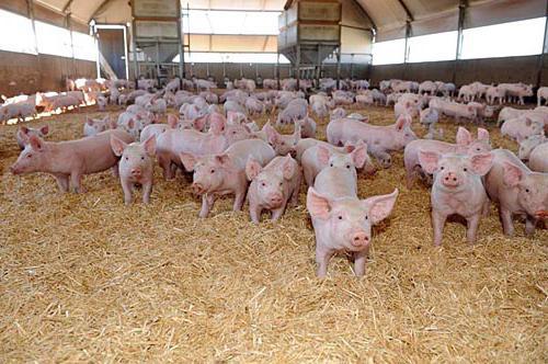 پرورش خوک در گرجستان